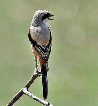 Long-tailed shrike - Upright posture (ssp. erythronotus (Keoladeo National Park, India)