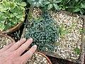 Lonicera semenovii - Flickr - peganum.jpg
