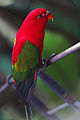 Lorius garrulus -Bali Bird Park-4.jpg