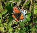 Lycaena phlaeas (Small Copper) - Flickr - S. Rae (1).jpg