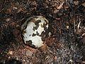 Lycoperdon fungai-2-sanyasimalai-yercaud-salem-India.jpg