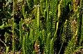 Lycopodium annotinum (8342272166).jpg