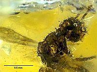 MNHNA30162 Haidomyrmodes mammuthus 03.jpg