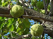 oranger des osages � wikip233dia