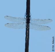 191px macromia annaimallaiensis, thattekkad, kerala, india (cropped)