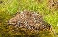 Madriguera de castores, Palmer, Alaska, Estados Unidos, 2017-08-22, DD 28.jpg