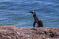 Magellanic Penguin - Punta Tombo - Pen.Valdez 18 (13222535793).jpg