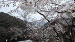 Makino park Sakura.JPG