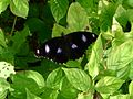 Male Varied eggfly (5695333395).jpg