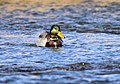 Mallard on Seedskadee National Wildlife Refuge (40291627395).jpg