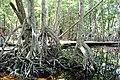 Malpighiales - Rhizophora mangle - 33.jpg