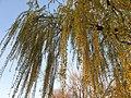 Malpighiales - Salix babylonica - 6.jpg