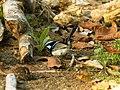 Malurus cyaneus (35233597751).jpg