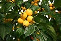 Malus-baccata-yellw-fruits.jpg