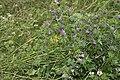 Malva sylvestris bray-sur-somme 80 25062007 4.jpg