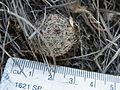 Mammillaria haageana (5738757767).jpg