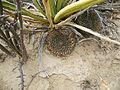 Mammillaria heyderi ssp. hemisphaerica (5676591668).jpg