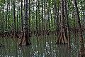 Mangrove in Isla de Damas - panoramio.jpg
