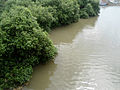 Mangrove swamp at Kakinada 01.jpg