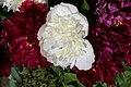 Mani ziedi My flowers - panoramio (46).jpg