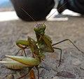 Mantis102.jpg