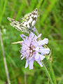 Marbled white on scabious, Bradenham - geograph.org.uk - 892197.jpg