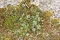 Marchantia polymorpha (36847840125).jpg