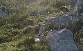 Marmota camtschatica img 4962.jpg