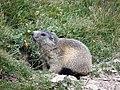 Marmotte dans le vallon de l'Alpet (Vars, Sainte-Marie) - panoramio (1).jpg