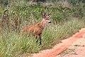Marsh deer Mato Grosso do Sul Brazil.jpg
