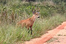 Marsh deer Mato Grosso do Sul Brazil.jpg