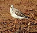 Marsh sandpiper 5(Tringa stagnatilis).jpg