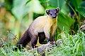 Martes flavigula, yellow-throated marten - Kaeng Krachan National Park (11098054786).jpg