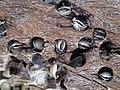 Martesia striata bivalves in wood borings (driftwood on marine beach, Cayo Costa Island, Florida, USA) 15 (25570978953).jpg