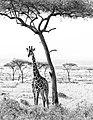 Masai mara (15414458789).jpg