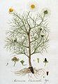 Matricaria chamomilla — Flora Batava — Volume v4.jpg