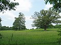 Mature oaks in field looking towards Furze Field - geograph.org.uk - 461870.jpg