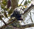 Mauritius Grey White-eye. Zosterops mauritianus - Flickr - gailhampshire (2).jpg