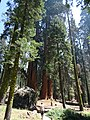 McKinley Grove of Giant Sequoias 01.jpg