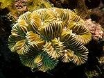 Meandrina meandrites (Maze Coral).jpg