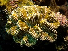 Meandrina meandrites (Maze Coral).jpg