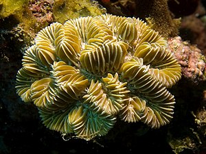 image of Meandrina meandrites (Maze Coral)