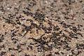 Meat eater ant nest swarming03.jpg