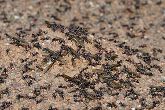 Eusociality - A swarming meat-eater ant colony