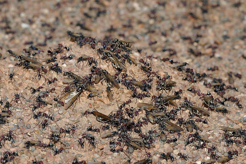 Meat eater ant nest swarming03