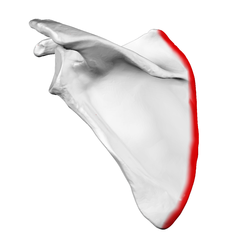 Medial border of left scapula01.png