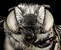 Megachile pseudobrevis, U, face, Georgia, Camden County 2013-01-24-14.59.20 ZS PMax (8418081979).jpg