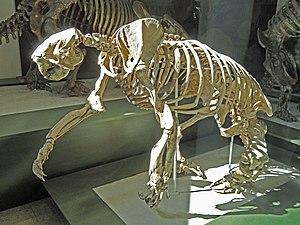 Megalonyx - M. wheatleyi skeleton.