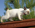 Mekong bobtail chocolite point, Cofein Pride cattery.jpg
