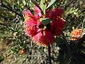 Melaleuca fulgens (flowers 3).JPG